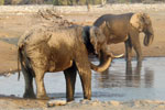 Elephants at Etosha waterhole