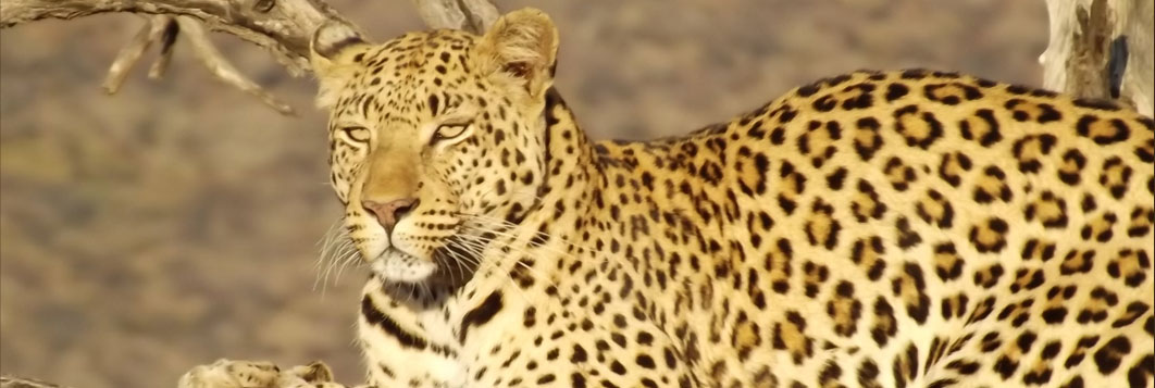 Leopard - Guided Safaris