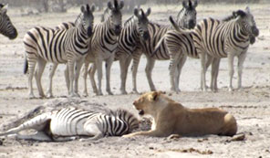 Lion kill - zebra