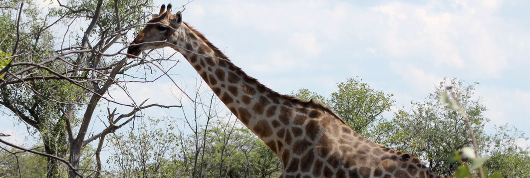 Giraffe on wildlife safari