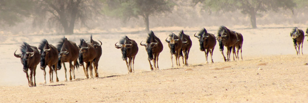 Wildebeest, Kgalagadi Transfrontier Park, southern Africa.